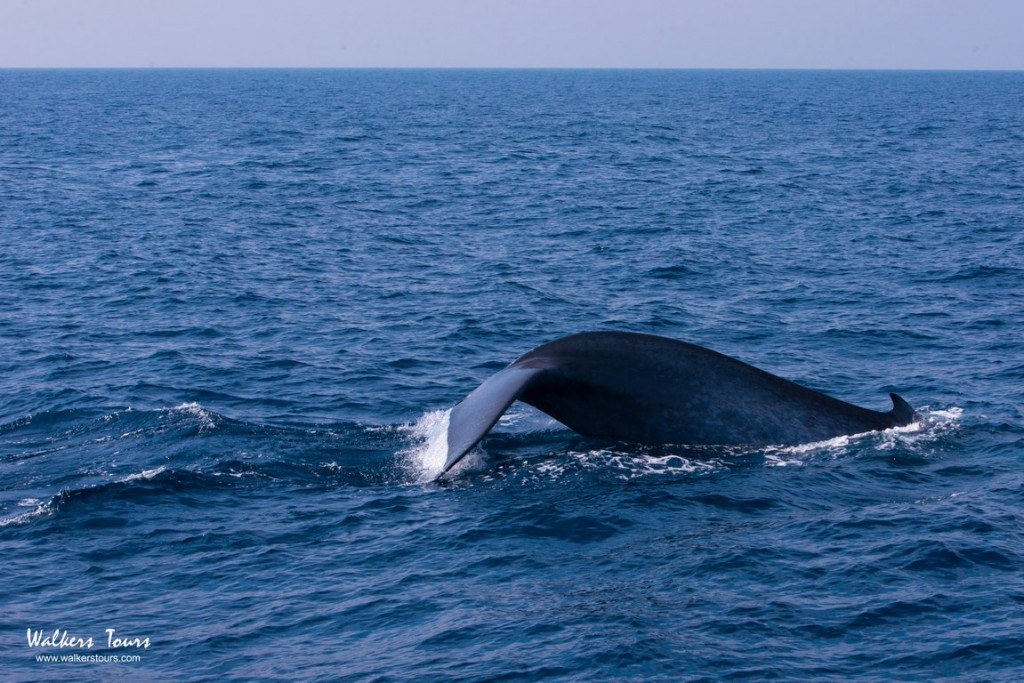 Whale watching in Sri Lanka with Walkers Tours