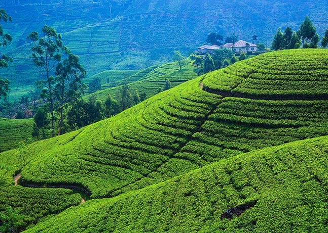 Beautiful panoramic view of a tea estate in the hill country