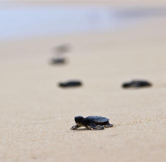 Turtle hatchlings backing to the ocean