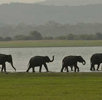 Elephants graze among wetlands of the Minneriya National Park