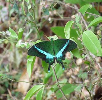 One of Kithulgala's exotic species of butterflies