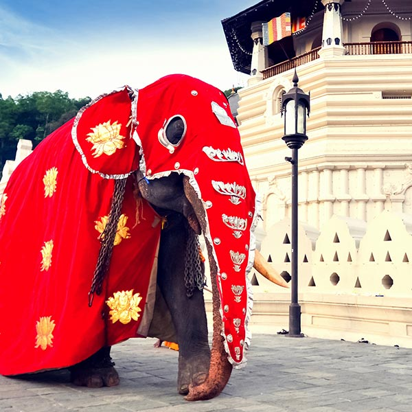 A magnificent Elephant dressed for Esala perahera