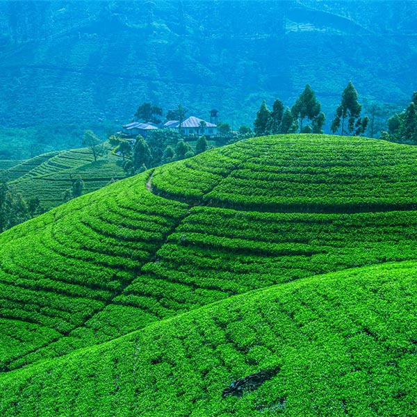 Breathtaking view of a layered tea plantation in Hill country