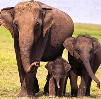 Baby Elephants roaming the grasslands alongside their Mother