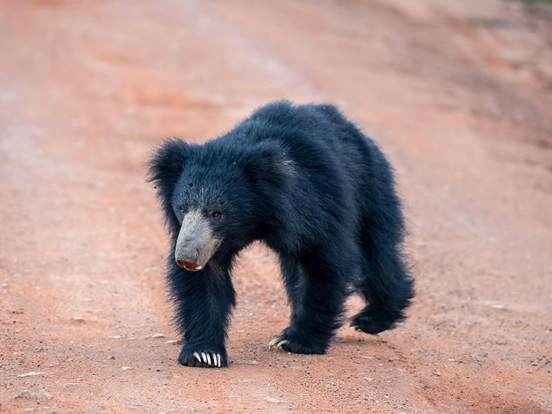 The Sloth bear, native to Sri Lanka, wandering along its habitat