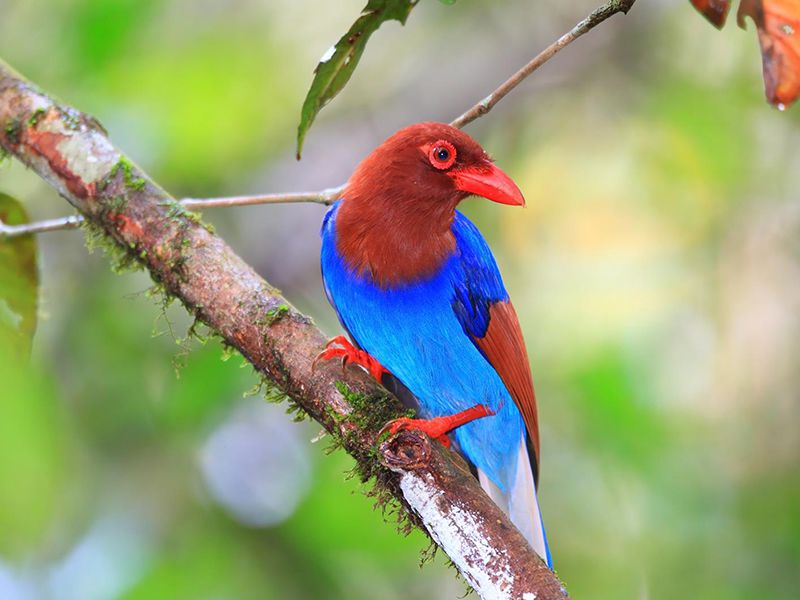 Close up of a Endemic Sri Lanka Blue Magpie from Sinharaja