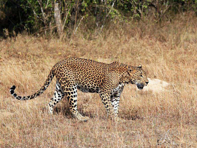 Sri Lankan Leopard in the wilderness