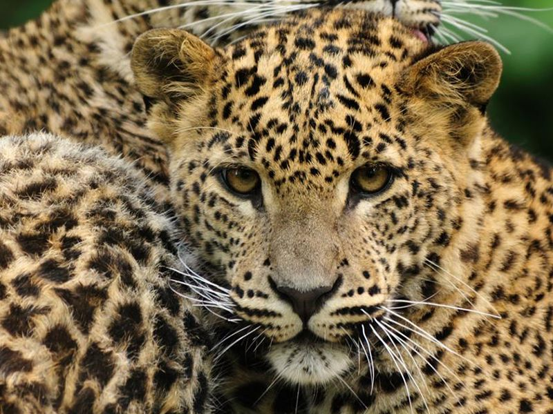 Leopard - the shrewdest of the big cats