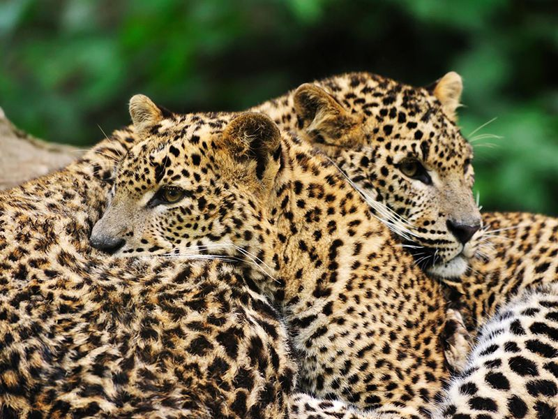 Leopard couple in a forest