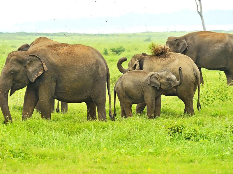 Elephants graze in the lush  green grasslands