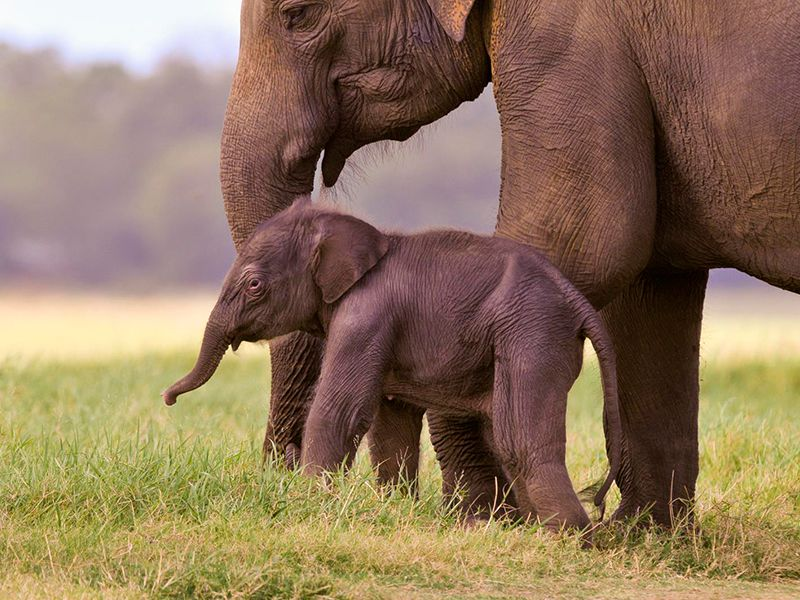 A mother Elephant with her baby Elephant