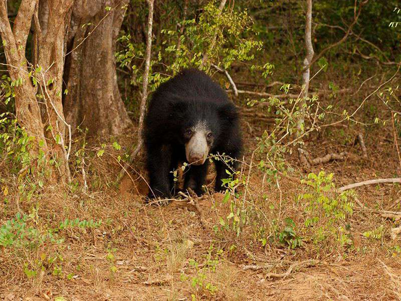 A Sloth Bear in the woods