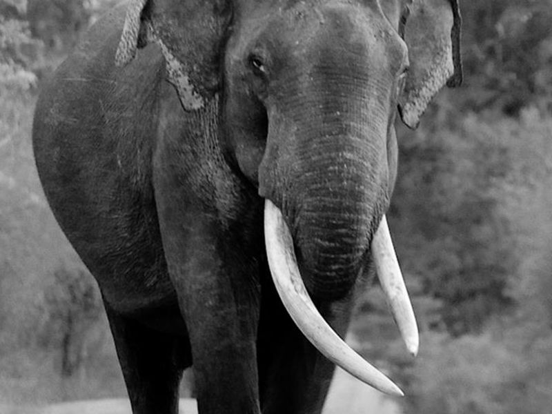 Enormous Elephant with tusks