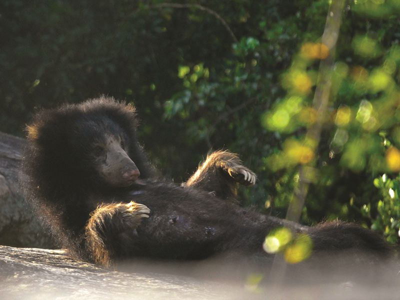 A Sloth Bear in a forest in Sri Lanka
