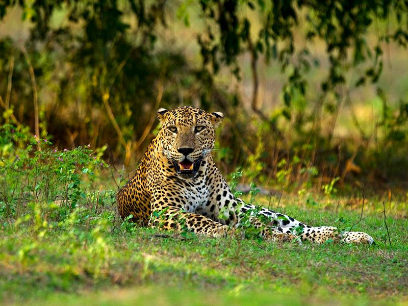 A Leopard - one of the powerful big cats