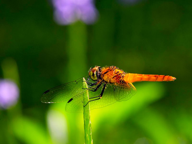 Beautiful Red Orange Dragonfly on a stem