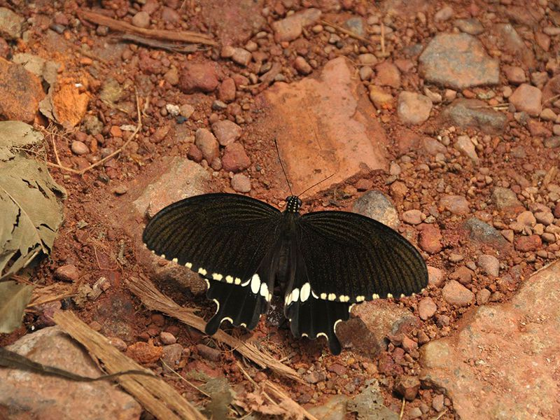 A black Butterfly - beautiful creatures of nature