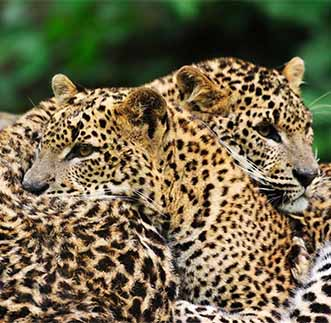 Perfect capture of random moments of a Leopard couple